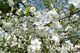 Чумачечая весна