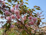 Цвет сакуры