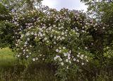 Шиповник в цвету, Могилёв