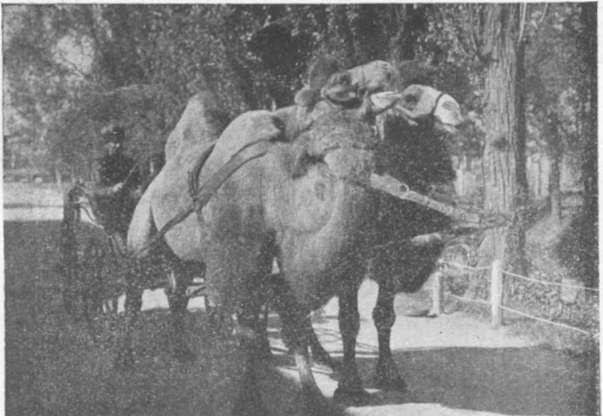Верблюды Э. К. Бродского для катания детей Фото из альбома Южно-Русской Областной сельскохозяйственной промышленной и кустарной Выставки в г. Екатеринославе 1910 года. Проходила на т
