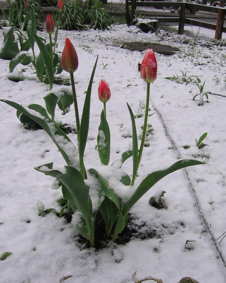 Апрель, тюльпаны ... снег!