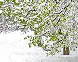 Заснеженное дерево