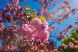 В ДИИТе цветут сакуры