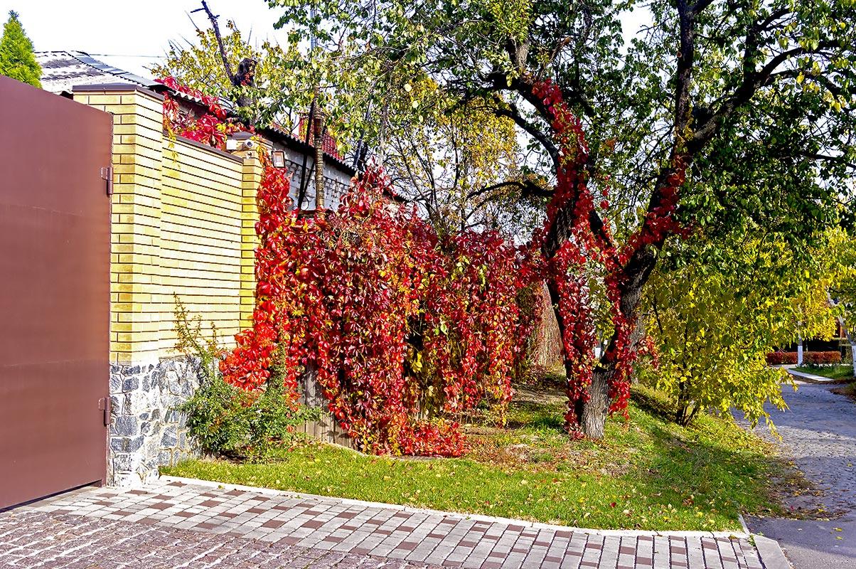 Дикий виноград, улица Троицкая (Красная)