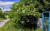Могилёв, катальпа цветёт.