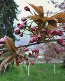 ДИИТ, цветение сакуры