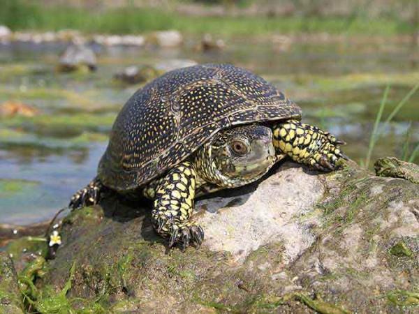 В Днепропетровской области увеличилось количество краснокнижных рептилий