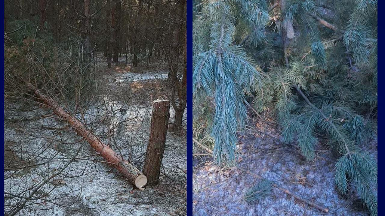 Полицейские задержали мужчину, который   рубил елки