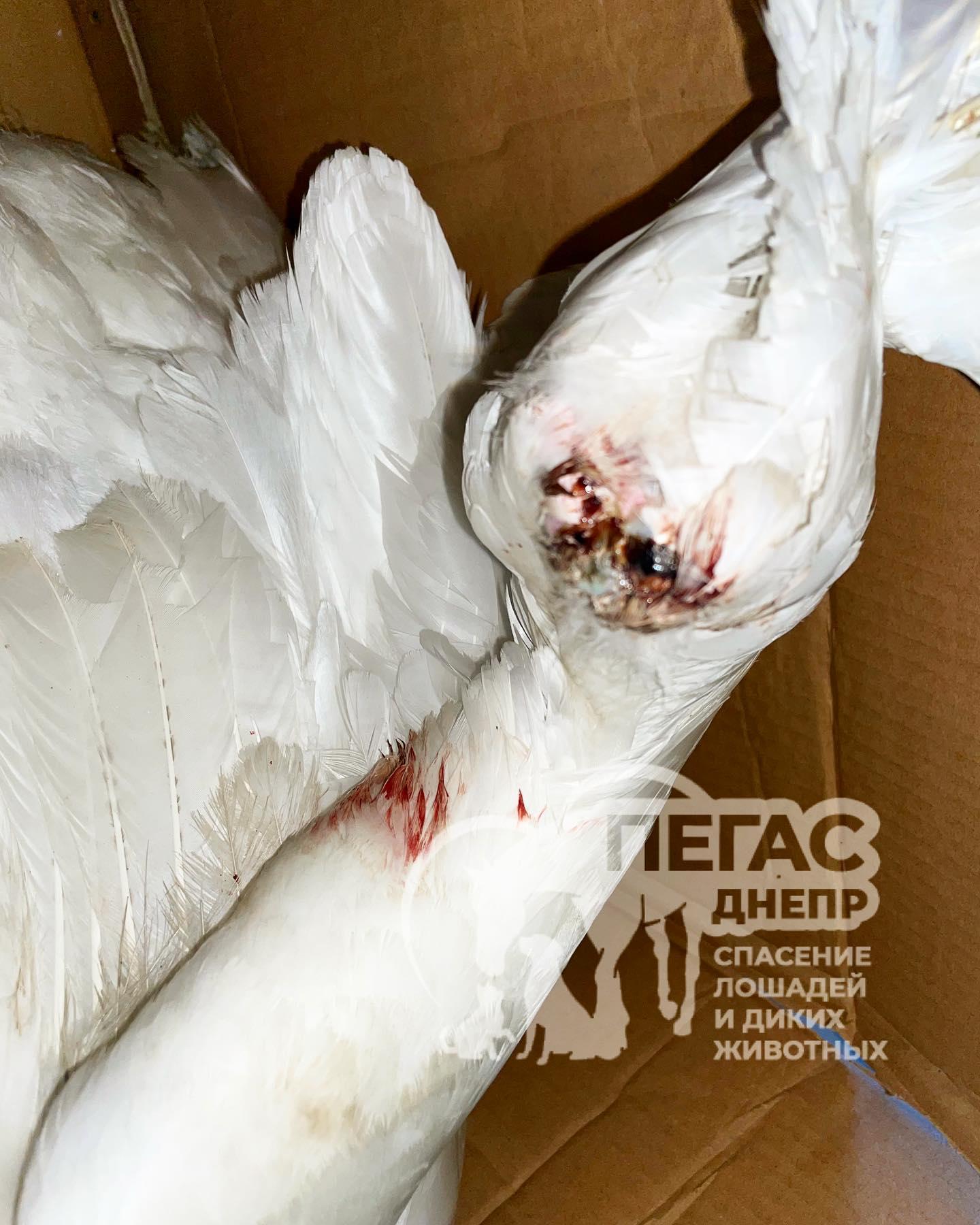 Жители Днепропетровщины спасают раненных лебедей