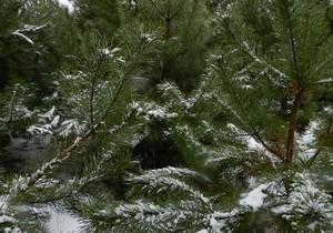 В области было запротоколировано 2 случая незаконной рубки новогодних елок