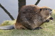 На Днепропетровщине обнаружили новую популяцию бобров