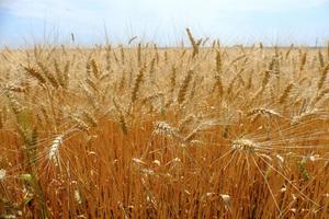 Аграрії Дніпропетровщини вже зібрали 1,8 млн тонн озимої пшениці
