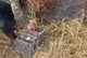На Днепропетровщине охотники выпустили в дикую природу уток и фазанов