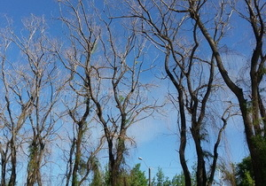 Почему в Днепре высохли 1500 деревьев