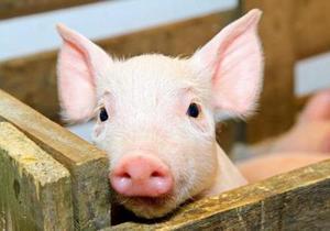 Фермеров Днепропетровщины просят усилить профилактику африканской чумы свиней