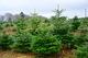 В этом году продажа елок стартует в начале декабря
